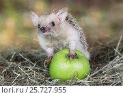 Купить «African hedgehog with apple», фото № 25727955, снято 7 марта 2017 г. (c) Алексей Кузнецов / Фотобанк Лори