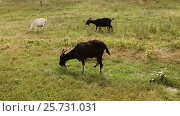 Купить «Herd of goats grazing on pasture in the field and feeding on growing green grass. Slow motion. HD», видеоролик № 25731031, снято 9 марта 2017 г. (c) ActionStore / Фотобанк Лори