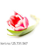 Pink tulip with leave on a white backgroun. Стоковое фото, фотограф Валерия Лузина / Фотобанк Лори