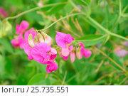 Купить «Sweet pea (Lathyrus odoratus) flowers», фото № 25735551, снято 17 июля 2014 г. (c) Надежда Нестерова / Фотобанк Лори
