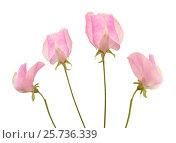 Купить «душистый горошек, розовые цветы изолировано на белом фоне», фото № 25736339, снято 8 марта 2017 г. (c) Tamara Kulikova / Фотобанк Лори