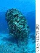 Longspine anthias (Pseudanthias squamipinnis) at Coral pillar, Red Sea, Al-Qusayr, Egypt. Стоковое фото, фотограф Некрасов Андрей / Фотобанк Лори