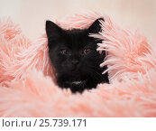 Купить «Little black funny kitten. The cat hid under the pink blanket», фото № 25739171, снято 26 июня 2019 г. (c) Ирина Козорог / Фотобанк Лори