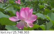 Купить «Lotus flower with pink petals close-up», видеоролик № 25748303, снято 28 февраля 2017 г. (c) Михаил Коханчиков / Фотобанк Лори