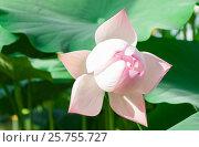 Купить «Цветущая водяная лилия», фото № 25755727, снято 9 августа 2016 г. (c) Андрей Липинский / Фотобанк Лори