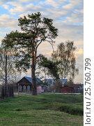 Купить «Pine on the village street», фото № 25760799, снято 20 июля 2019 г. (c) Вадим Бочкарев / Фотобанк Лори