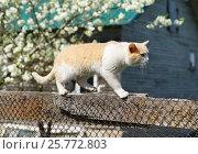 Купить «Рыжий кот идёт по забору», эксклюзивное фото № 25772803, снято 9 мая 2016 г. (c) Dmitry29 / Фотобанк Лори
