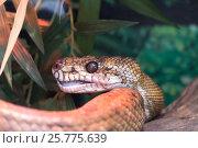 Купить «Змея Удав Рушенберга», фото № 25775639, снято 11 марта 2017 г. (c) Parmenov Pavel / Фотобанк Лори
