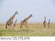 Купить «Masai giraffe (Giraffa camelopardalis tippelskirchi) herd of male and females and mongooses (Herpestidae) standing alert in the grass, Masai Mara Game Reserve, Kenya.», фото № 25775679, снято 5 августа 2020 г. (c) Nature Picture Library / Фотобанк Лори