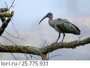 Купить «Hadada ibis (Bostrychia hagedash) perched on branch, captive in Zoo Parc de Beauval, France. Occurs in sub-Saharan Africa.», фото № 25775931, снято 19 марта 2019 г. (c) Nature Picture Library / Фотобанк Лори