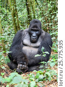 Купить «Silverback Eastern lowland gorilla (Gorilla beringei graueri) in equatorial forest of Kahuzi Biega National Park. South Kivu, Democratic Republic of Congo, Africa», фото № 25775935, снято 24 июля 2019 г. (c) Nature Picture Library / Фотобанк Лори