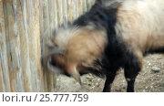 Купить «Муфлон бьет рогом о бревенчатую стену», видеоролик № 25777759, снято 17 марта 2017 г. (c) Parmenov Pavel / Фотобанк Лори
