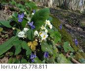 Купить «Белые цветы примулы и дикие фиалки на солнечной полянке в лесу», фото № 25778811, снято 9 марта 2017 г. (c) DiS / Фотобанк Лори
