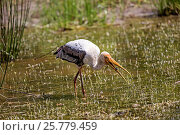 Купить «Sri Lanka, Wilpattu national patk, Painted stork (Mycteria leucocephala), fishing in a waterhole.», фото № 25779459, снято 3 мая 2016 г. (c) age Fotostock / Фотобанк Лори