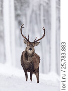 Купить «RF - Red Deer stag (Cervus elaphus) in snow-covered pine forest. Scotland, UK. December.», фото № 25783883, снято 21 июля 2018 г. (c) Nature Picture Library / Фотобанк Лори