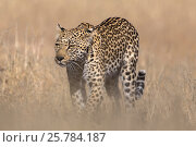 Leopard female (Panthera pardus), Kgalagadi transfrontier park, South Africa, June. Стоковое фото, фотограф Ann  & Steve Toon / Nature Picture Library / Фотобанк Лори
