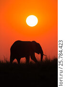 African elephant (Loxodonta Africana) bull at sunset, Chobe river, Botswana, September. Стоковое фото, фотограф Ann  & Steve Toon / Nature Picture Library / Фотобанк Лори