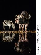 Купить «Cape buffalo (Syncerus caffer) at waterhole at night with plains zebra (Equus quagga), Zimanga private game reserve, KwaZulu-Natal, South Africa, September», фото № 25784427, снято 12 июля 2020 г. (c) Nature Picture Library / Фотобанк Лори