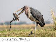 Купить «Marabou stork (Leptoptilos crumenifer) with carrion, Chobe river, Botswana, September», фото № 25784435, снято 12 июля 2020 г. (c) Nature Picture Library / Фотобанк Лори