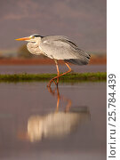 Купить «Grey heron (Ardea cinerea) with reflection, Zimanga private game reserve, KwaZulu-Natal, South Africa, September», фото № 25784439, снято 23 октября 2018 г. (c) Nature Picture Library / Фотобанк Лори