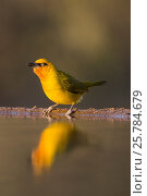Spectacled weaver (Ploceus ocularis), Zimanga private game reserve, KwaZulu-Natal, South Africa, June. Стоковое фото, фотограф Ann  & Steve Toon / Nature Picture Library / Фотобанк Лори