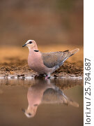 Cape turtle dove (Streptopelia capicola) at water. Zimanga private game reserve, KwaZulu-Natal, South Africa. September. Стоковое фото, фотограф Ann  & Steve Toon / Nature Picture Library / Фотобанк Лори