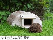 Купить «Hedgehog (Erinaceus europaeus) entering hedgehog house, captive, UK. August.», фото № 25784899, снято 12 июля 2020 г. (c) Nature Picture Library / Фотобанк Лори