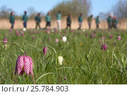 Wildlife Trust volunteers surveying Snakeshead fritillary (Fritillaria meleagris) flowers. Iffley Meadow, Oxford. April. Стоковое фото, фотограф Ann  & Steve Toon / Nature Picture Library / Фотобанк Лори