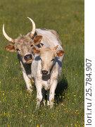 Купить «White Chillingham cattle, cow and calf. Chillingham Park, Northumberland, UK.», фото № 25784907, снято 12 июля 2020 г. (c) Nature Picture Library / Фотобанк Лори