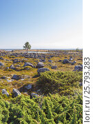 Купить «Одинокое дерево на побережье Белого моря на острове Большая Муксалма Соловецкого архипелага», фото № 25793283, снято 26 августа 2013 г. (c) Дмитрий Тищенко / Фотобанк Лори