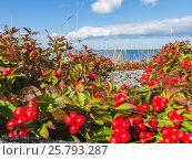 Купить «Шведский дерен на побережье белого моря», фото № 25793287, снято 26 августа 2013 г. (c) Дмитрий Тищенко / Фотобанк Лори