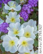 Купить «Close up of flowering Sand verbena (Abronia) and Birdcage evening primrose (Oenothera deltoides) Anza-Borrego State Park,  California, USA. March 2017...», фото № 25793927, снято 23 июля 2018 г. (c) Nature Picture Library / Фотобанк Лори