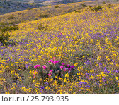 Купить «Whipple Mountain foothills, with flowering Notch-leaf scorpion-weed (Phacelia crenulata) and Heartleaf evening primrose (Camissonia cardiophylla) with...», фото № 25793935, снято 23 июля 2018 г. (c) Nature Picture Library / Фотобанк Лори