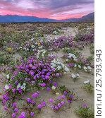 Купить «Desert landscape at sunset, with flowering Sand verbena (Abronia), Desert gold (Geraea canescens), and Birdcage evening primrose (Oenothera deltoides)...», фото № 25793943, снято 22 июля 2018 г. (c) Nature Picture Library / Фотобанк Лори