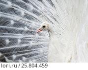 Купить «Profile of a beautiful white peacock fluffed up its tail in the background», фото № 25804459, снято 18 марта 2017 г. (c) Бачкова Наталья / Фотобанк Лори