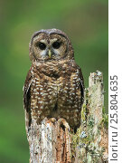 Купить «Spotted Owl (Strix occidentalis). Willamette National Forest, Oregon. June.», фото № 25804635, снято 19 июня 2018 г. (c) Nature Picture Library / Фотобанк Лори