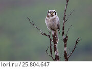 Купить «Northern Hawk Owl (Surnia ulula). Varanger, Norway. June.», фото № 25804647, снято 19 мая 2019 г. (c) Nature Picture Library / Фотобанк Лори