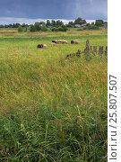 Купить «Овцы пасутся на фоне деревенского пейзажа перед грозой», фото № 25807507, снято 9 июля 2016 г. (c) Kroshanya / Фотобанк Лори