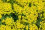 Цветок Молочай желтый, фото № 25812703, снято 17 мая 2015 г. (c) Мурина Ольга / Фотобанк Лори
