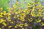 Цветы вербейник. Lysimachia ciliata, фото № 25812939, снято 8 июля 2015 г. (c) Мурина Ольга / Фотобанк Лори