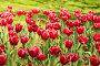Клумба с яркими карминово-красными с белой каймой тюльпанами (лат. Tulipa) класса Триумф в весеннем парке на фоне зеленой травы, фото № 25814363, снято 14 апреля 2013 г. (c) Наталья Гармашева / Фотобанк Лори