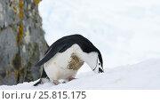 Купить «Chinstrap Penguins on snow», видеоролик № 25815175, снято 18 января 2017 г. (c) Vladimir / Фотобанк Лори