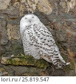 Белая сова или полярная сова (Bubo scandiacus, Nyctea scandiaca) сидит на камнях. Стоковое фото, фотограф Валерия Попова / Фотобанк Лори