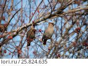Две птицы свиристели сидят на ветке шиповника и едят ягоды. Стоковое фото, фотограф Светлана Пальцева / Фотобанк Лори