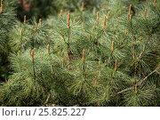 Купить «Кедровый стланик (Pinus pumila)», фото № 25825227, снято 11 мая 2015 г. (c) Юлия Бабкина / Фотобанк Лори