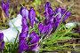 Первые весенние цветы - крокусы, фото № 25832907, снято 27 марта 2017 г. (c) Татьяна Белова / Фотобанк Лори