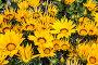 Цветы газании крупным планом, фото № 25833879, снято 11 мая 2014 г. (c) Наталья Волкова / Фотобанк Лори
