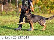 Купить «Woman is dog trainer with German Shepherd in meadow on summer day, part of body», фото № 25837019, снято 24 сентября 2015 г. (c) Losevsky Pavel / Фотобанк Лори