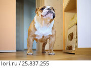 Купить «English bulldog standing in the room, the view from the bottom up», фото № 25837255, снято 26 октября 2014 г. (c) Losevsky Pavel / Фотобанк Лори