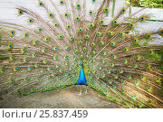 Купить «Peacock with the spread tail in the open-air cage», фото № 25837459, снято 23 июня 2015 г. (c) Losevsky Pavel / Фотобанк Лори